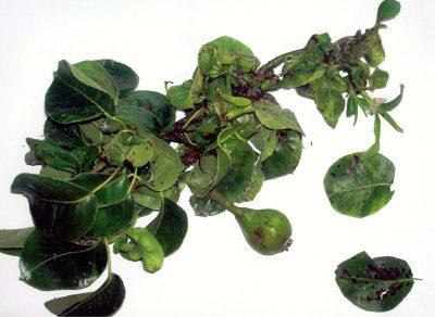 Ataque de pulgón galopante en peral y fruto